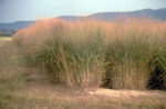 A stand of switchgrass