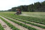 Cultivating peanuts at Ponder Farm