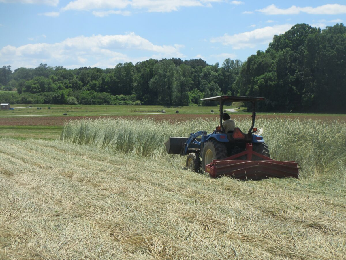 A producer terminates a cover crop without chemicals to prevent weeds and save money.