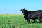 Cattle grazing on old world bluestem.