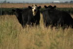Cattle grazing on non-irrigated dryland system.