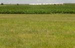 Perennial grass and cotton field