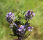 alfalfa in bloom