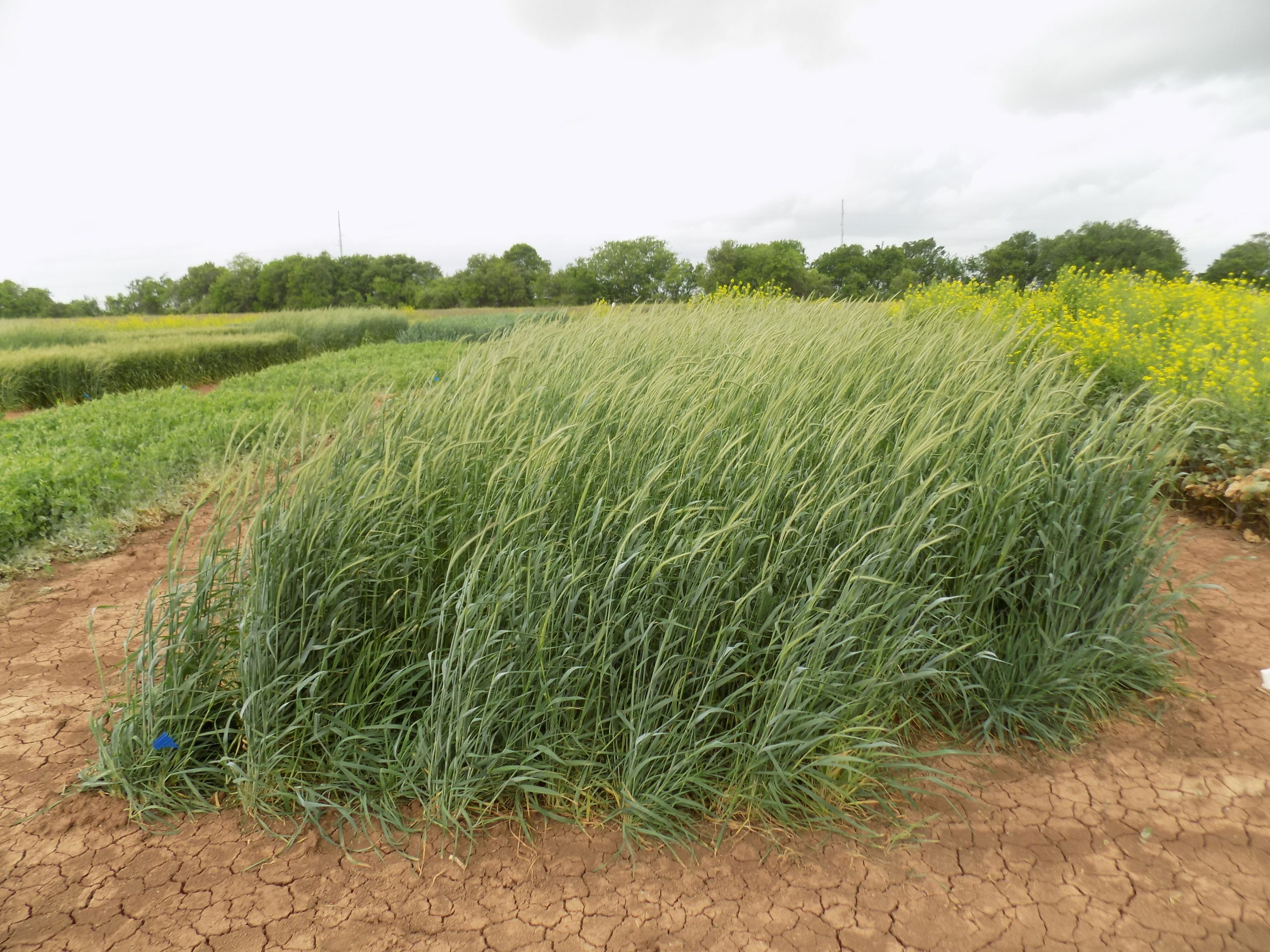 Triticale, a hybrid of wheat and rye, was selected to move on to the second phase of the research.