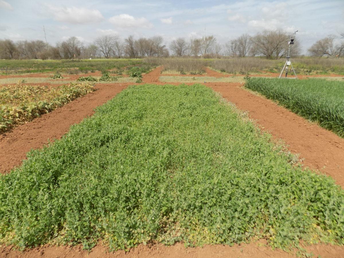Austrian winter pea is a low-growing, cool season, legume